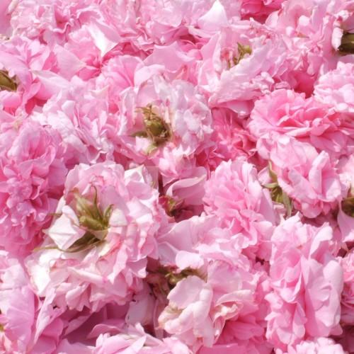 1kg - Petali freschi bio di Rosa Damascena