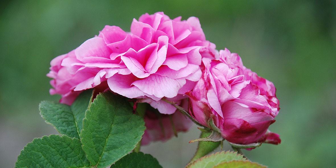 La Rosa Damascena