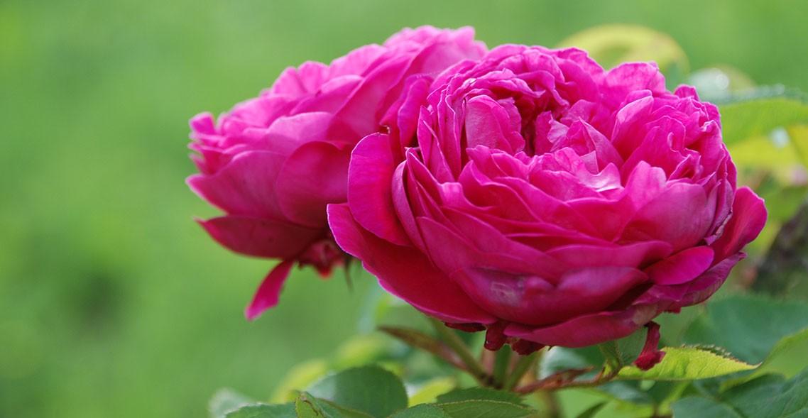 Rosa della Valle Scrivia